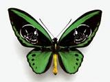 Leichter als 21 Gramm (Ornithoptera priamus poseidon), 2008, grüner Schmetterling, Totenköpfe gelasert, Insektenkasten, ca. 10 x 15 cm