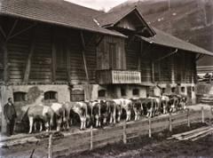 Arthur Zeller · Herde der Gebrüder Ueltschi vor dem Stall, Boltigen, 1921