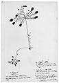 !Nanni, 25. Juni 1880, Bleistift auf Papier, 253 x 177 cm; 1. //gue - kleiner Baum mit essbaren Früchten; 2. //gei!ka - Pflanze oder kleiner Strauch mit essbaren Früchten; 3. Baumhöhle, wo sich Regenwasser angesammelt hat; 4. Öffnung derselben; 5. Grashalme, mit denen Wasser aus der Höhle getrunken wird.