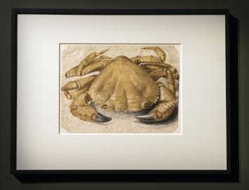 Albert Dürer, Krebs, 1495, Aquarell auf Papier,Ausstellungsansicht Palazzo Reale Milano.Foto:Paolo Poce