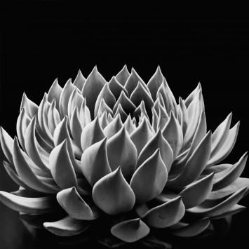 «Succulent: Echeveria radiance», photographed in 1968, gelatin Silver print by Don Worth hand-made in 2004