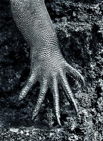 Sebastião Salgado · Meerechse (Amblyrhynchus cristatus), 2004, weltweit die einzige an ein Leben im Salzwasser angepasste Echsenart, Galapagos, Ecuador ©Amazonas images